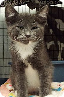 Domestic Shorthair Kitten for adoption in Grants Pass, Oregon - Minnie Mouse