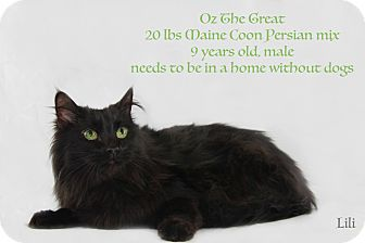 Maine Coon Cat for adoption in Warner Robins, Georgia - Ozzie
