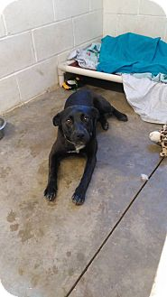 Labrador Retriever Mix Dog for adoption in Glenpool, Oklahoma - Black Beauty