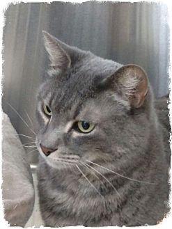 Domestic Shorthair Cat for adoption in Pueblo West, Colorado - Odie