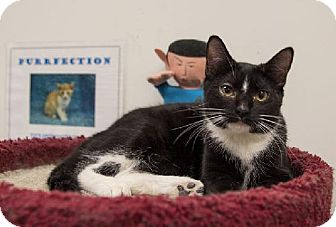 Domestic Shorthair Kitten for adoption in Tallahassee, Florida - Star