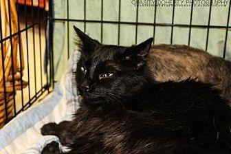 Domestic Longhair/Domestic Shorthair Mix Cat for adoption in Santa Fe, Texas - Dusty