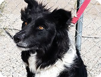 Border Collie Dog for adoption in Sterling, Colorado - Zeus