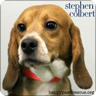 Beagle Dog for adoption in South Plainfield, New Jersey - Stephen Colbert