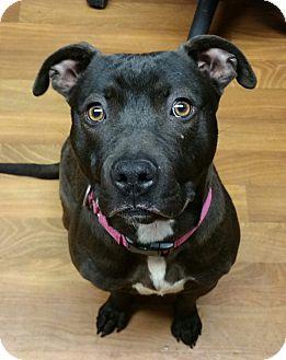 Pit Bull Terrier Mix Dog for adoption in Lisbon, Ohio - Sophia- SPONSORED
