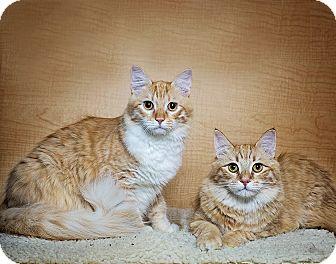 Domestic Mediumhair Kitten for adoption in El Dorado Hills, California - George