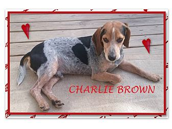 Beagle Dog for adoption in Ventnor City, New Jersey - CHARLIE BROWN