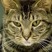 Adopt A Pet :: AVA (TABBY) - Houston, TX