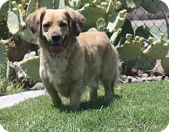 Golden Retriever/Dachshund Mix Dog for adoption in Henderson, Nevada - Squire