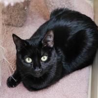 Domestic Shorthair/Domestic Shorthair Mix Cat for adoption in Boise, Idaho - Carmen