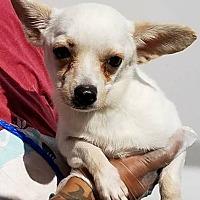 Adopt A Pet :: Chauncey - Las Vegas, NV
