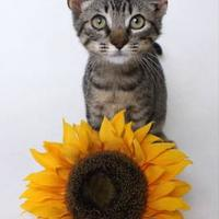 Domestic Shorthair/Domestic Shorthair Mix Cat for adoption in Luling, Louisiana - Dolly