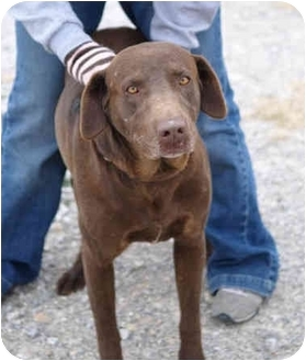 Labrador Retriever Dog for adoption in Dublin, Texas - Sarge