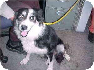 Border Collie Mix Dog for adoption in Gladwin, Michigan - Border Collie Mix