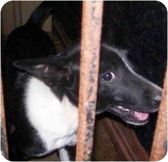 Rat Terrier Mix Dog for adoption in Tahlequah, Oklahoma - Rhodie