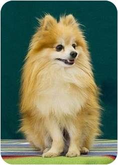 Pomeranian Dog for adoption in Kansas City, Missouri - Felix