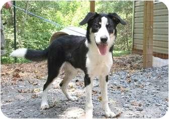Border Collie/Labrador Retriever Mix Dog for adoption in Cleveland, Georgia - Elvis