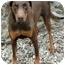Photo 2 - Doberman Pinscher Dog for adoption in Fillmore, California - Stretch