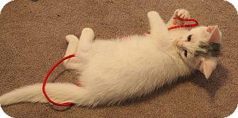 Domestic Shorthair Kitten for adoption in Smithfield, North Carolina - Zeus