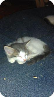 Domestic Shorthair Kitten for adoption in Toronto, Ontario - Mitsou