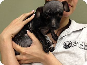 Chihuahua Mix Puppy for adoption in Seattle, Washington - Reba #380