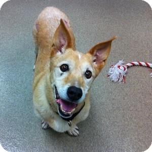 Pembroke Welsh Corgi Mix Dog for adoption in Gilbert, Arizona - Shorty