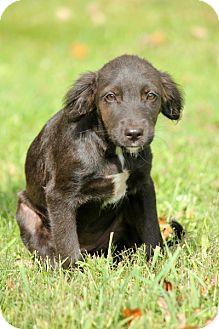 Labrador Retriever/Border Collie Mix Puppy for adoption in Pennigton, New Jersey - Vickie