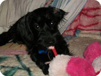 Schnauzer (Miniature)/Cocker Spaniel Mix Puppy for adoption in Cornwall, Ontario - Frisnette