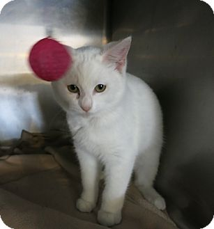 Domestic Shorthair Kitten for adoption in Geneseo, Illinois - Snow White