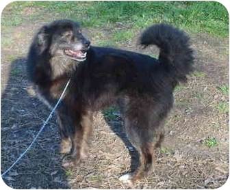Keeshond/Husky Mix Dog for adoption in Portsmouth, Rhode Island - Gordie