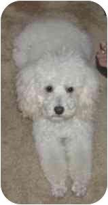 Poodle (Miniature) Dog for adoption in Melbourne, Florida - LOUIE