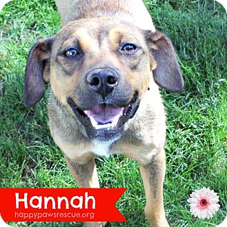 Shepherd (Unknown Type) Mix Puppy for adoption in South Plainfield, New Jersey - Hannah ~ 8 months old