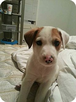 Pit Bull Terrier/Hound (Unknown Type) Mix Puppy for adoption in Stephenville, Texas - Charlie