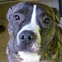 Pit Bull Terrier Mix Dog for adoption in Baltimore, New York - LEXI