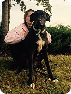 Great Dane/Labrador Retriever Mix Dog for adoption in Rochester, New York - Sally