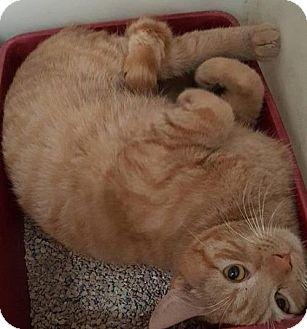 Domestic Shorthair Kitten for adoption in Corona, California - TONY THE TIGER