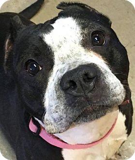 American Pit Bull Terrier Dog for adoption in Fulton, Missouri - Ebony (MO)