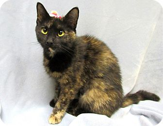 Domestic Shorthair Cat for adoption in Lexington, North Carolina - Dana
