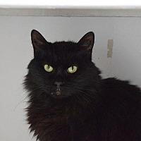 Domestic Longhair Cat for adoption in Denver, Colorado - Lazarus