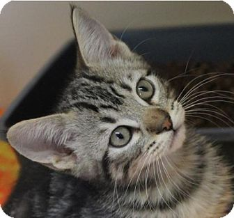 Domestic Shorthair Kitten for adoption in Red Bluff, California - RODGER