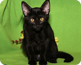 Domestic Shorthair Cat for adoption in Marietta, Ohio - Prince (Neutered)