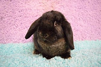 Lop, Holland Mix for adoption in Fountain Valley, California - Cookie