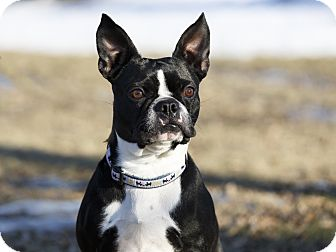 Boston Terrier Dog for adoption in Ile-Perrot, Quebec - Aby