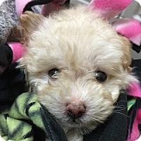 Adopt A Pet :: Katie - La Costa, CA