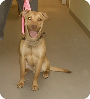 Labrador Retriever/Vizsla Mix Dog for adoption in St. Charles, Illinois - Lenny