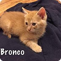 Adopt A Pet :: Bronco - Jackson, NJ
