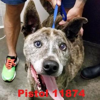 Catahoula Leopard Dog/Husky Mix Dog for adoption in Manassas, Virginia - Pistol