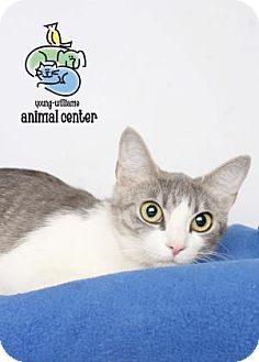 Domestic Shorthair Cat for adoption in Knoxville, Tennessee - Juneau