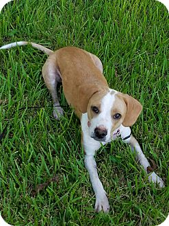 Beagle/Retriever (Unknown Type) Mix Dog for adoption in Laplace, Louisiana - Layla