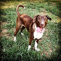 Labrador Retriever/Pointer Mix Dog for adoption in Mount Airy, North Carolina - Romeo
